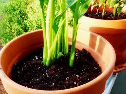 Megfelelő virágföldben jól fejlődik a növény
